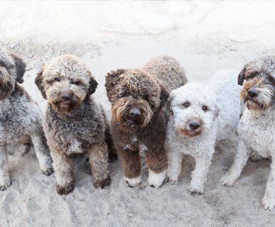 Fino Köpekleri
