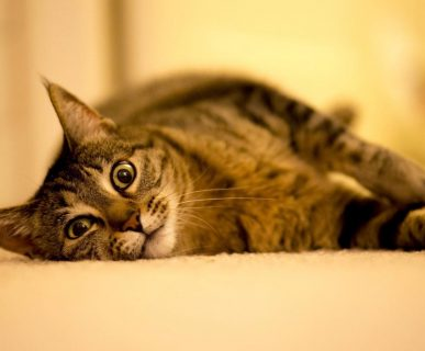 Kedi Çiftleşmesi
