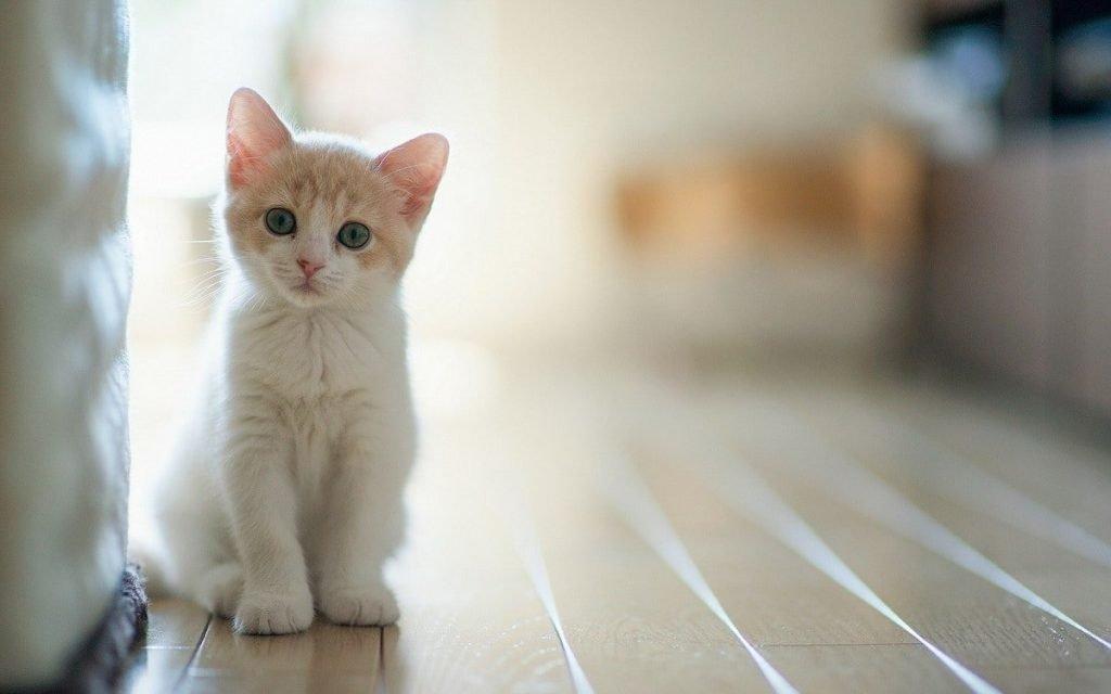 Kedi Kısırlaştırma
