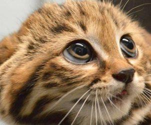 Kedilerde Cilt Hastalıkları