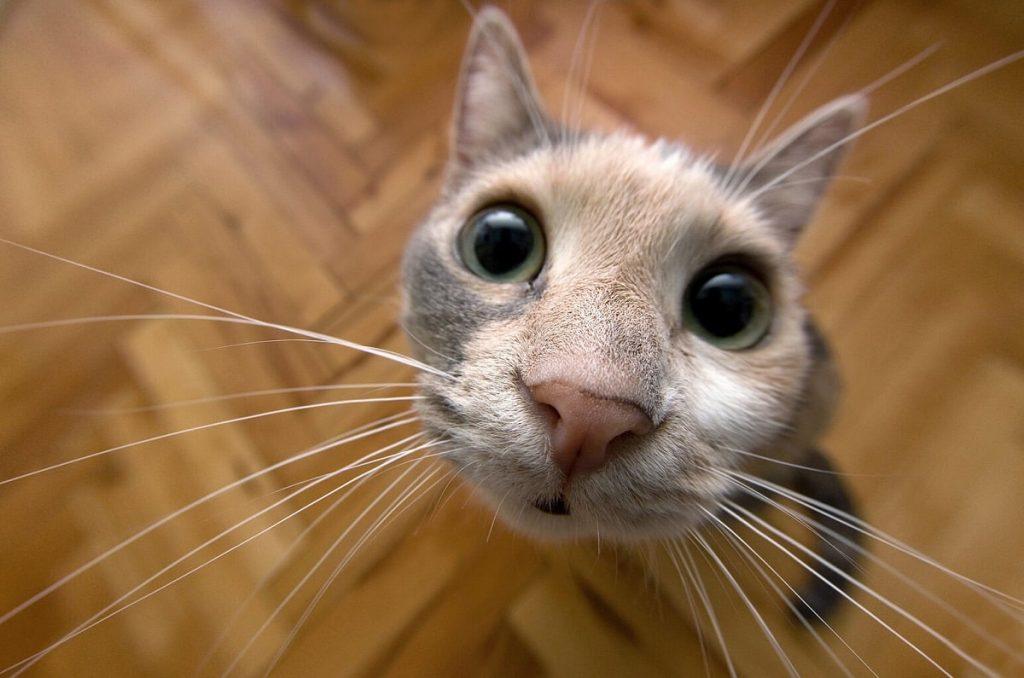 Kedilerde Görülen En Sık Hastalıklar