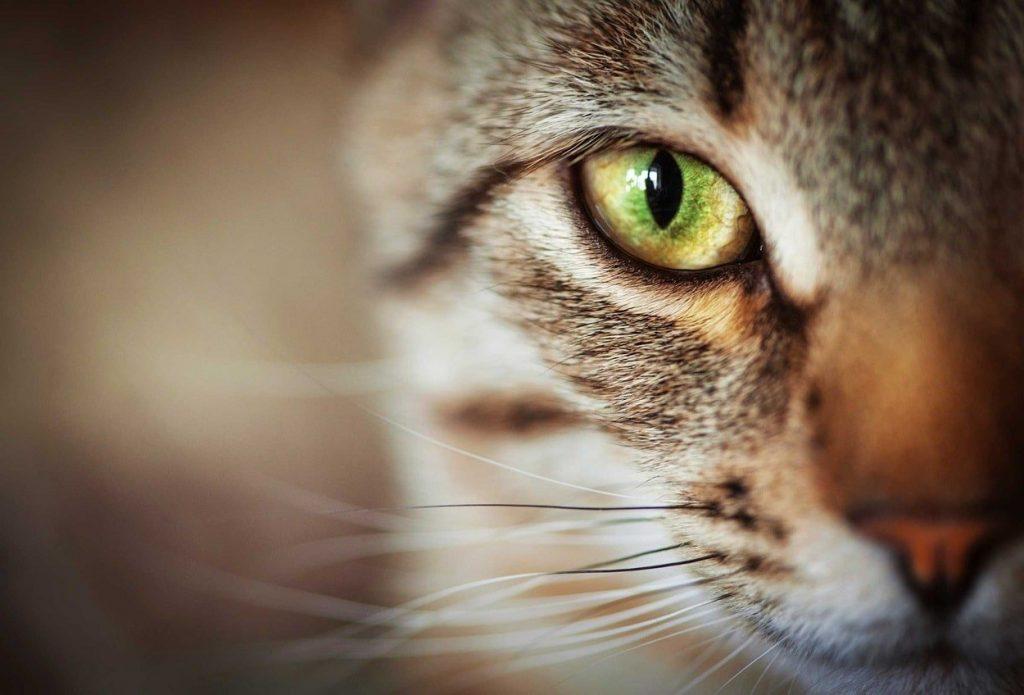 Kedilerde Göz Temizliği & Bakımı