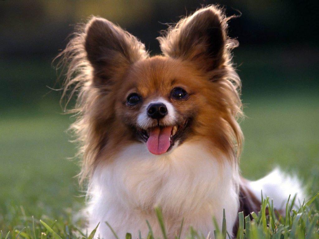 Papillon Fino Köpeği