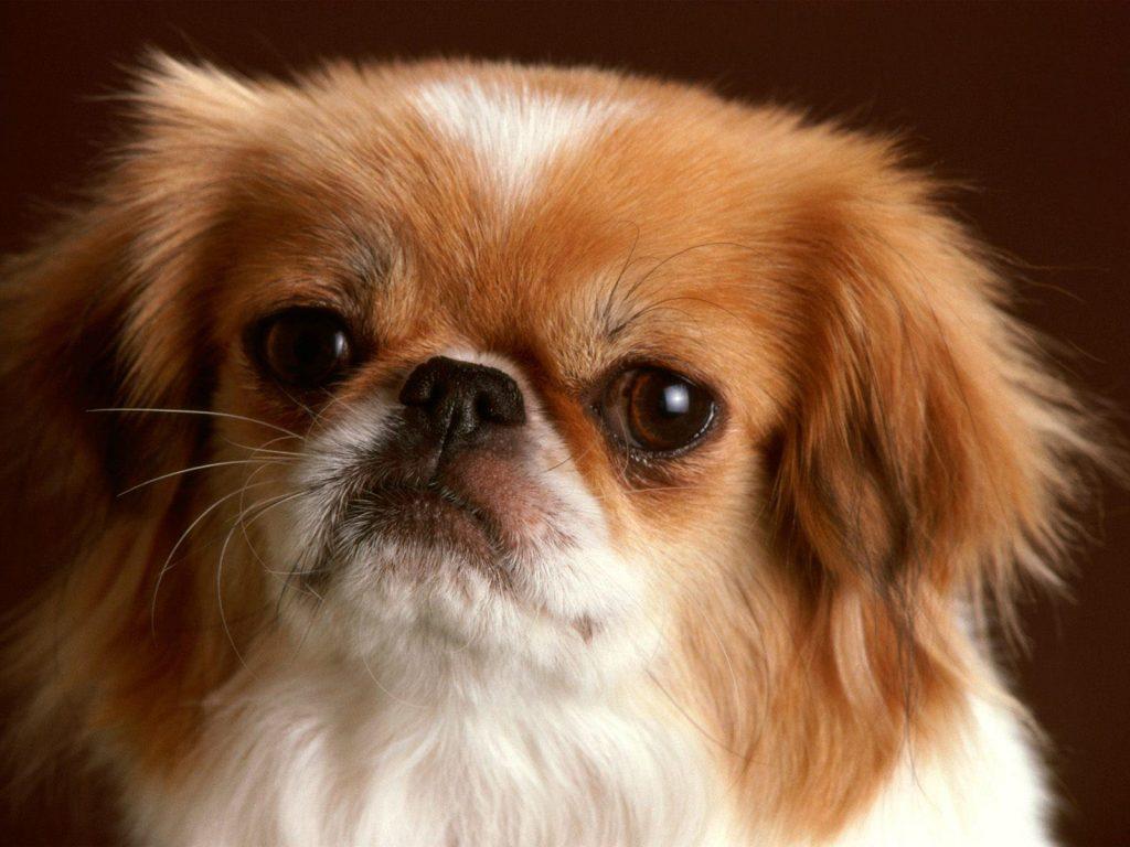 Pekingese Pekinez Fino Köpek