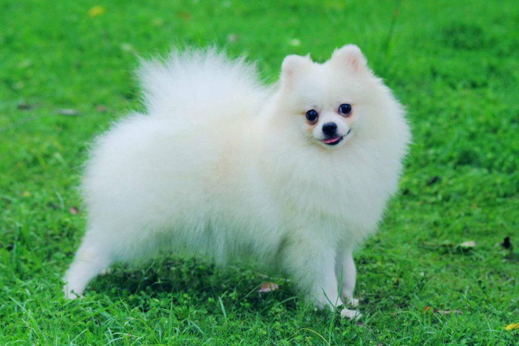 Pomeranian Fino Köpeği
