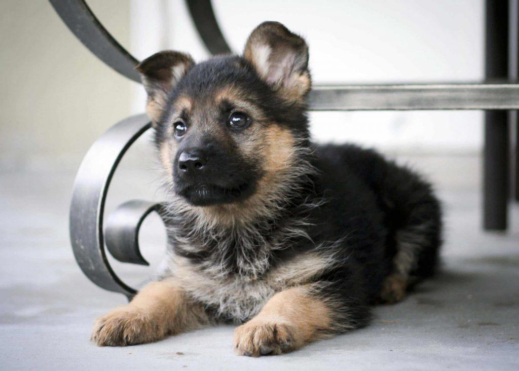 Alman Çoban Köpeği & Özellikleri