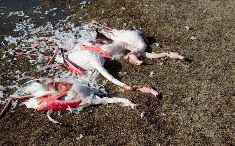 Akgöl'de flamingo katliamı!