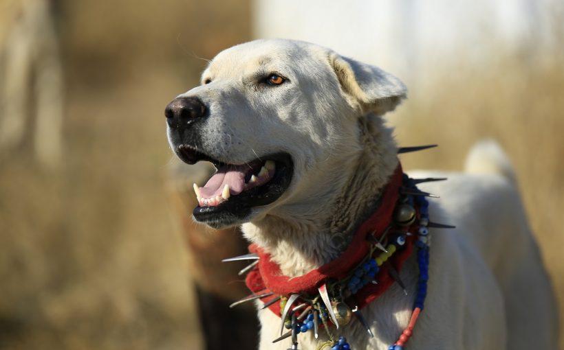Alman Çoban Köpekleri, Kurallar ve Özellikler Nasıl Beslenir