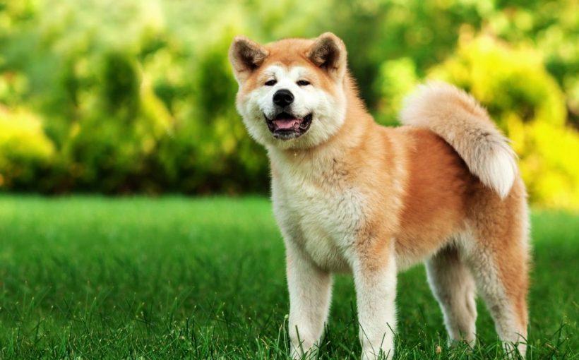Alabai köpek cinsi: eğitimin niteliği ve özellikleri