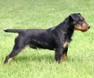 Alman Av Terrier