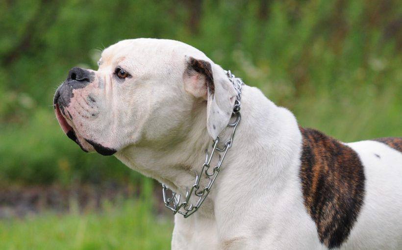 Amerikan Bulldog