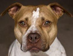 Amerikan Pitbull Terrier
