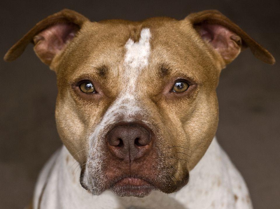 Amerikan Pitbull Terrier Cinsi Kopek Ve Ozellikleri Miyhav Com