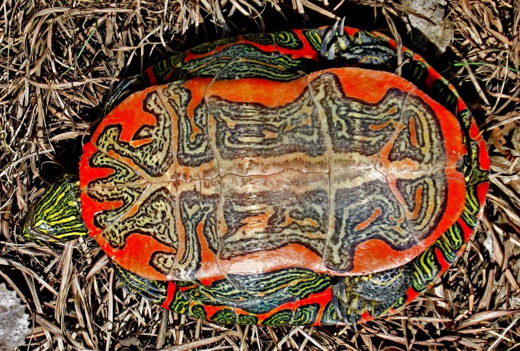 Boyalı Su Kaplumbağası