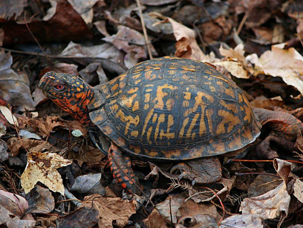 Doğu Kutu Kaplumbağası