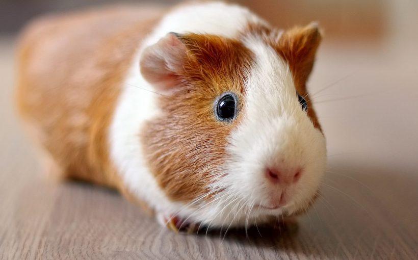 Ginepig (Guinea Pig) ve Hamster Arasındaki Farklar