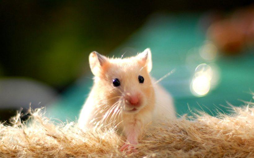 Hamster Cinsiyet Nasıl Anlaşılır Hamster Cinsiyet Ayrımı Miyhavcom