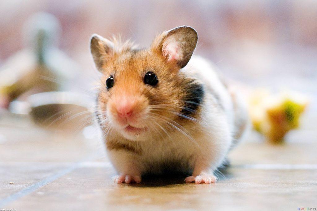 Hamster Nasıl Eğitilir