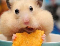 Hamsterlar Nasıl Eğitilir?
