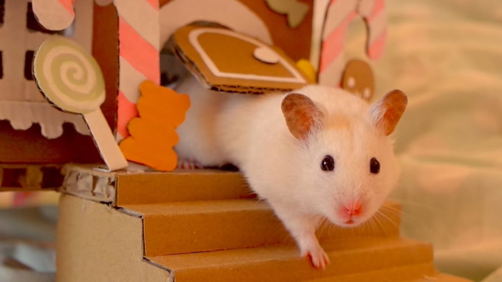 Hamster ile Oynamak