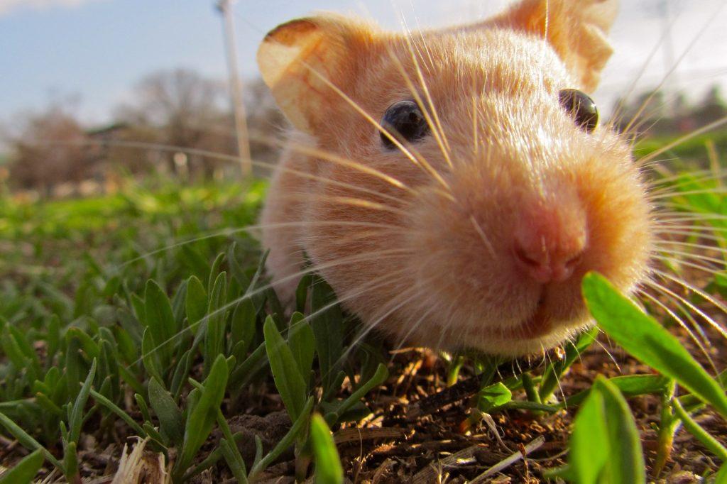 Hamster Özellikleri