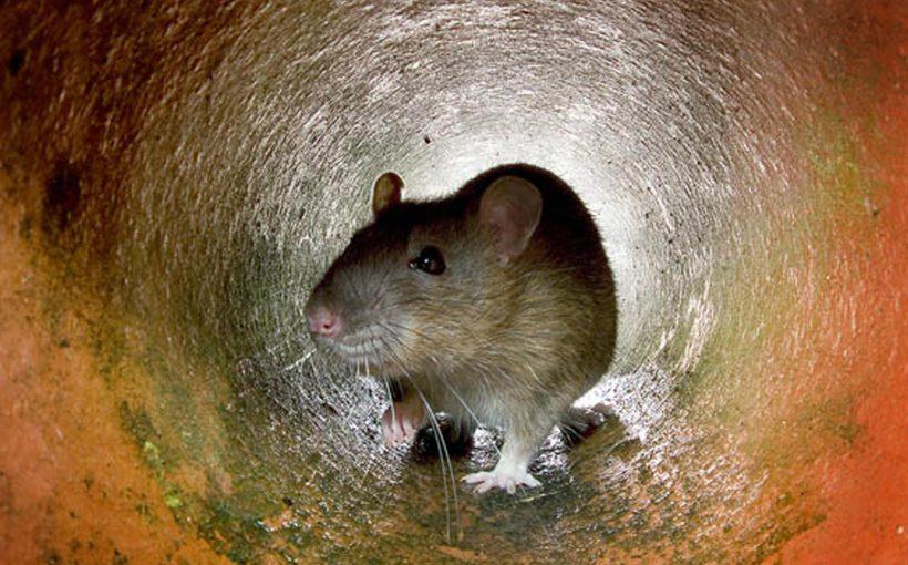 Hamster Doğal Yaşam