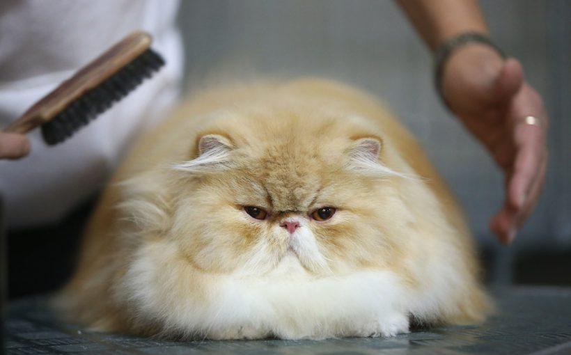 Kedilerde Pire ve Kene Nasıl Temizlenir?