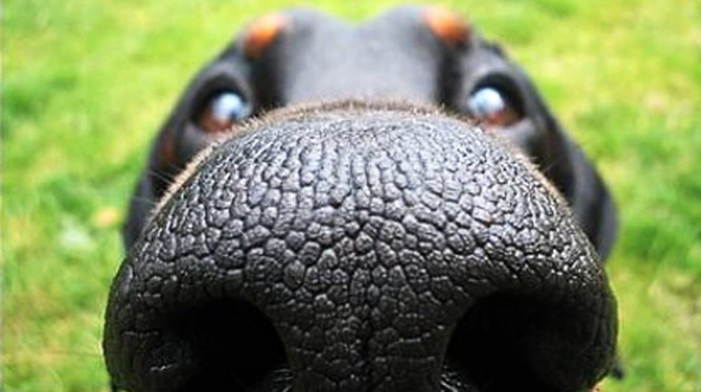 Köpeklerde Burun Akıntısı