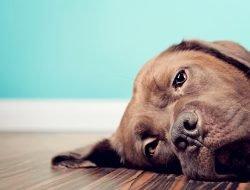 Köpeklerde Cilt Hastalıkları