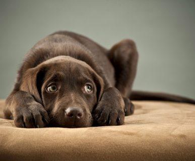Köpeklerde En Sık Görülen 10 Hastalık