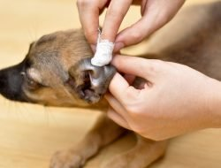 Köpeklerde Kulak Akıntısı