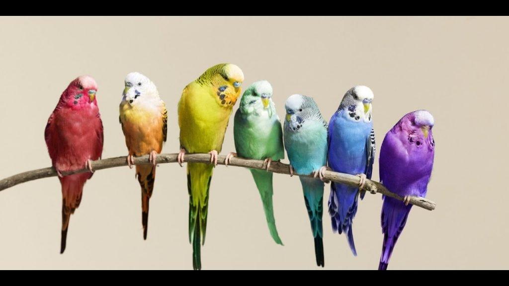 Muhabbet Kuşunun Cinsiyeti Nasıl Anlaşılır?