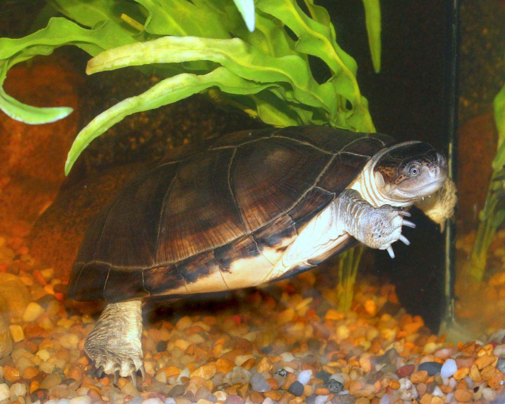 """Afrikalı """"Sideneck"""" Su Kaplumbağası"""