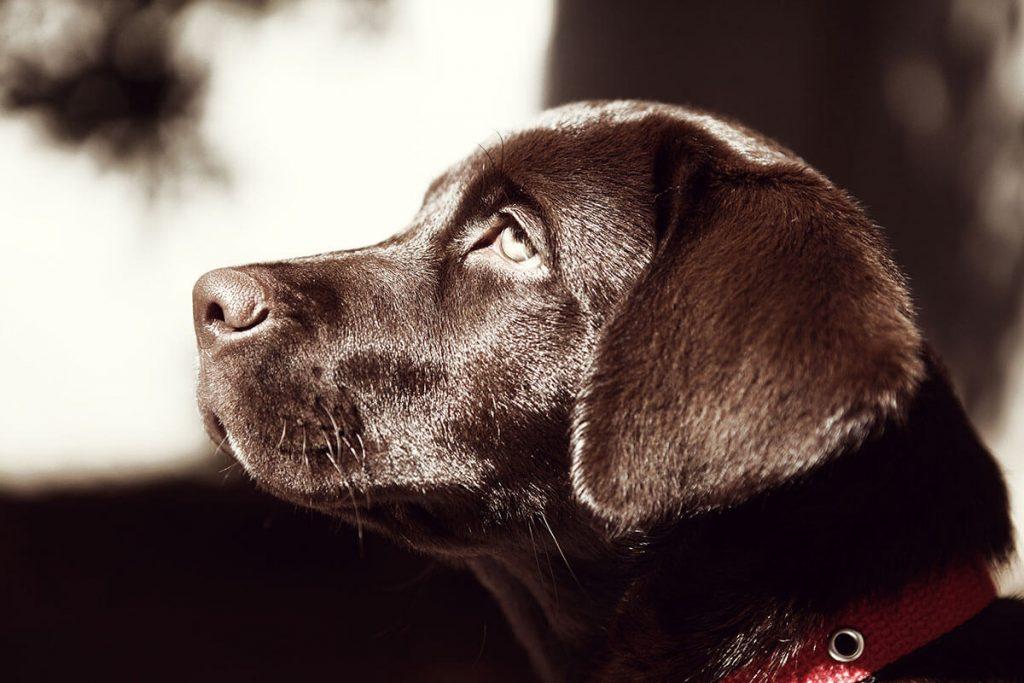 Köpeklerde Gençlik Hastalığı