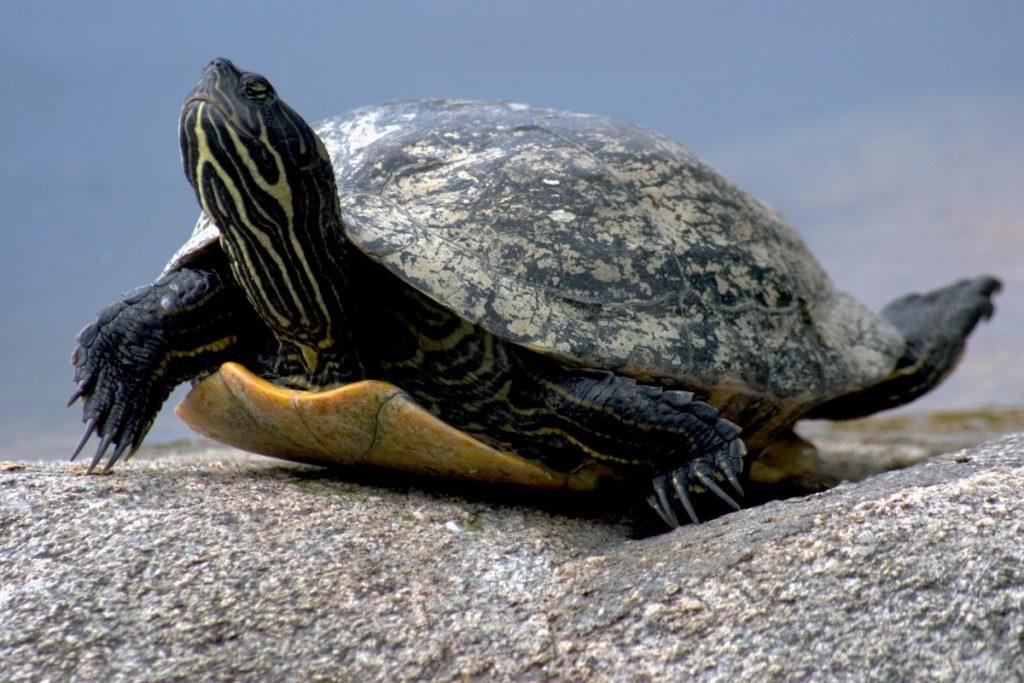 Su Kaplumbağası - Hibernasyon