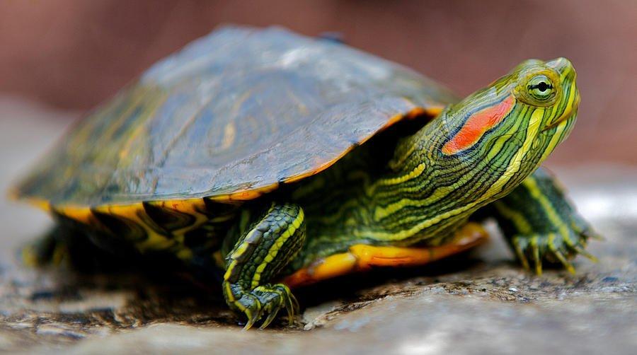 Su Kaplumbağalarında Hibernasyon Nedir?