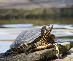 Su Kaplumbağası Özellikleri
