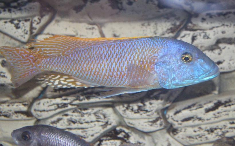 Buccochromis Rhoadesii (Sarı Lepturus)