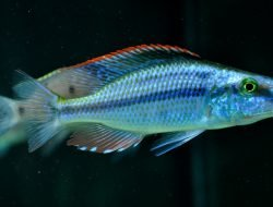 Dimidiochromis Compressiceps (Yaprak Cichlid)