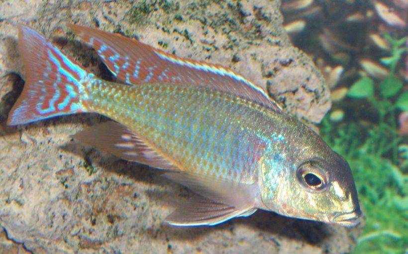 Lethrinops Marginatus Red-Fin Itungi