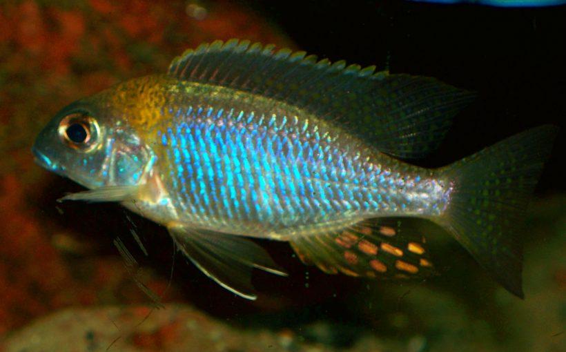 "Lethrinops sp. ""Deep Orange Top"" (Nkhata Bay)"
