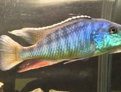 Lichnochromis Acuticeps (Malawi Gar)