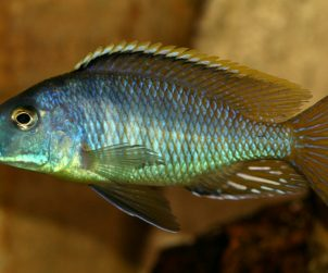 Mylochromis lateristriga