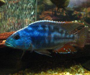 Nimbochromis Fuscotaeniatus (Fusco)