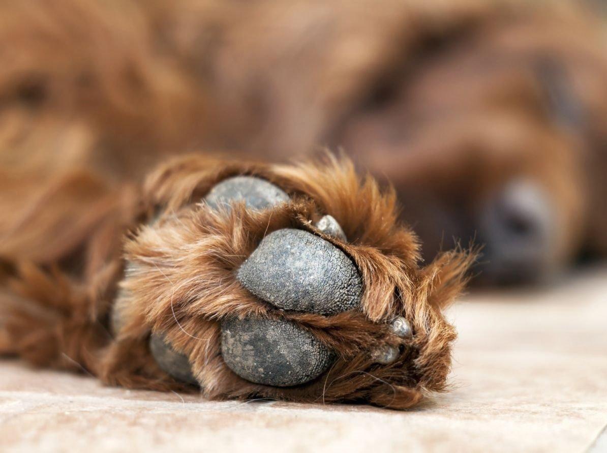 Köpeklerde Diş Sağlığı ve Bakımı
