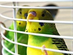 Muhabbet Kuşu Kafesi
