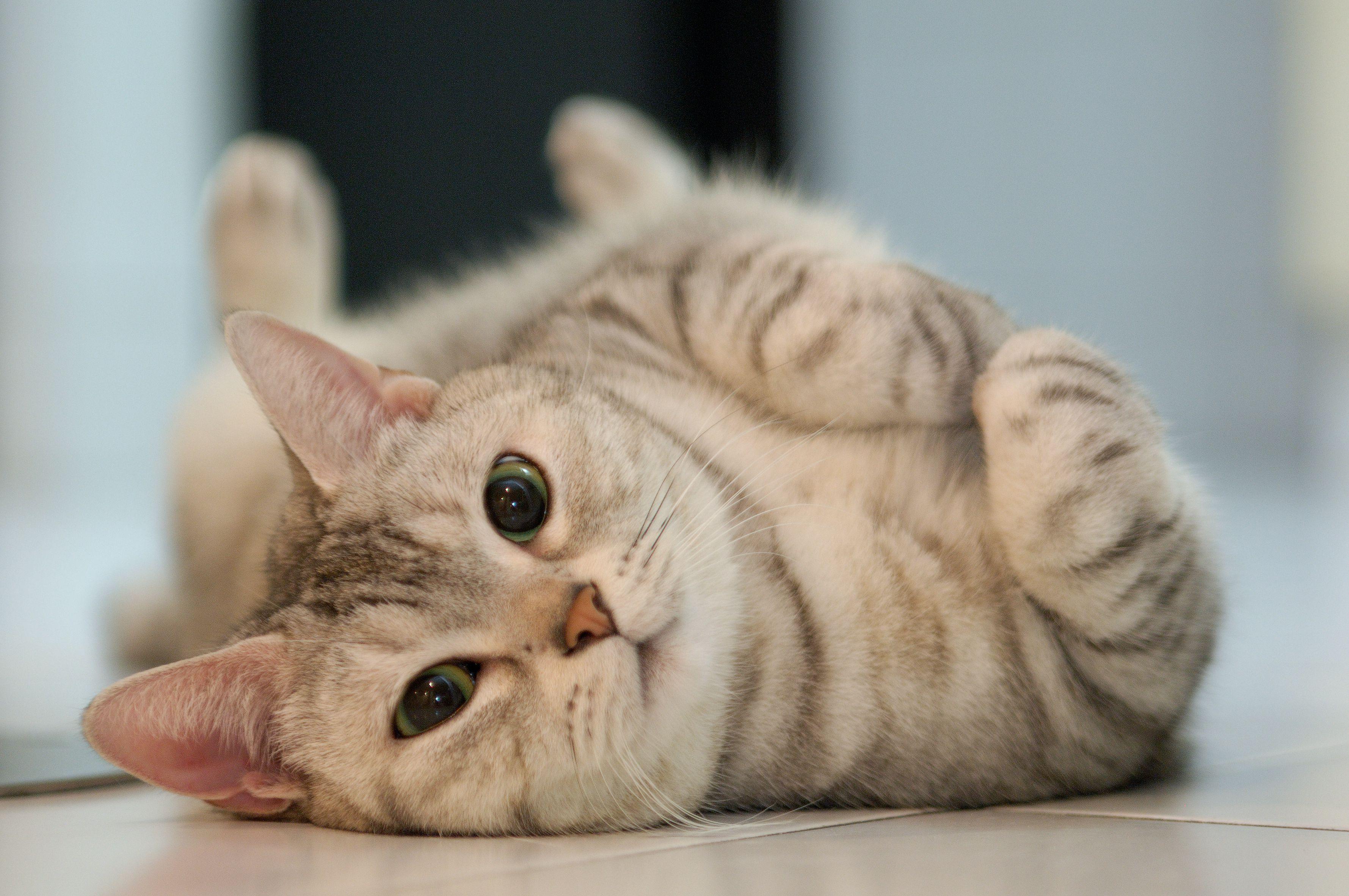 Kedilerde Aşı Takvimi Nasıldır