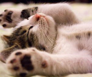 Kedilerde Bağırsak Kurdu