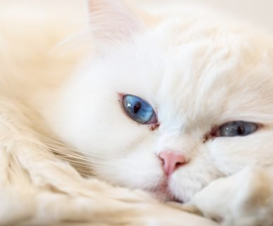 Kedilerde Göz Akıntısı