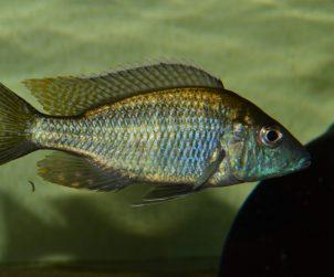 Aulonocara Guentheri